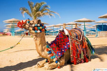 camello en hurghada